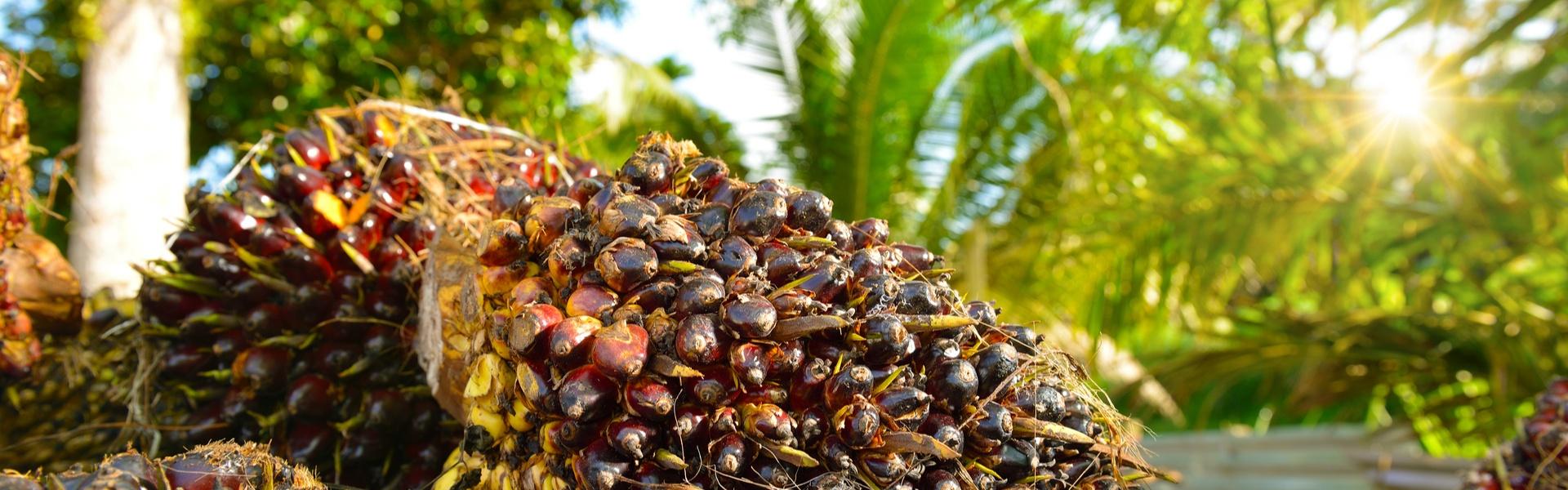 Nachhaltiger Anbau von Palmöl